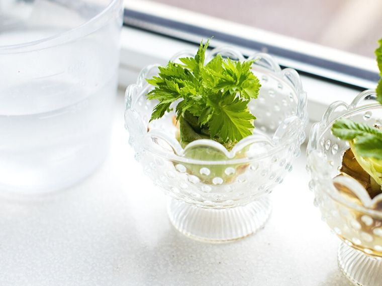 how to grow celery in water