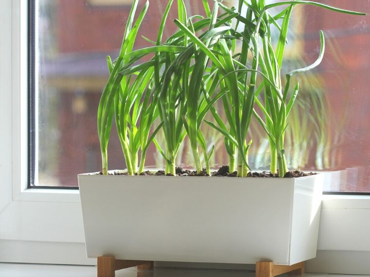 regrow green onions in soil