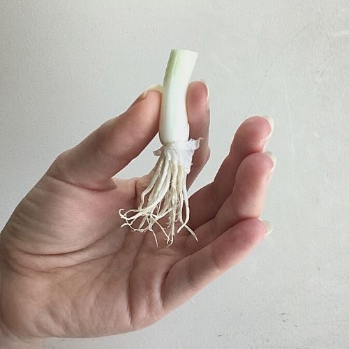 regrowing green onion