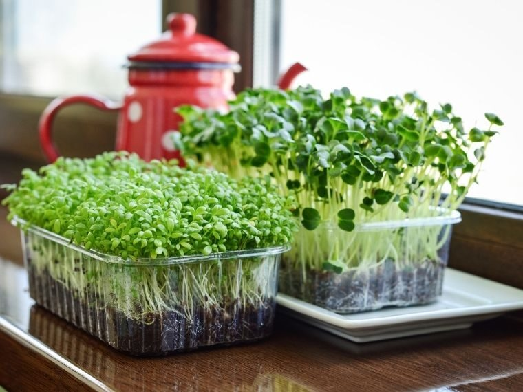 growing microgreens indoors